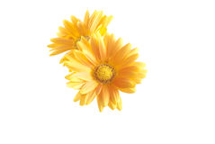 Daisy gerbera flower Stock Images