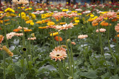 Daisy Gerbera Flower Stock Afbeelding