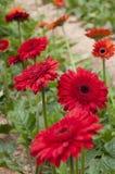 Daisy Gerbera Flower Royalty Free Stock Image