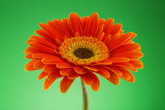 Daisy or gerbera flower isolated over green background Royalty Free Stock Photo