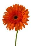Daisy Gerbera Flower on white Royalty Free Stock Image