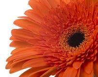 Daisy Gerbera Flower on white Stock Photo