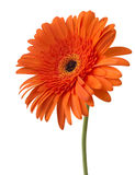 Daisy Gerbera Flower on white Stock Images