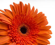 Daisy Gerbera Flower on white Stock Photos