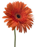 Daisy Gerbera Flower on white Royalty Free Stock Photography