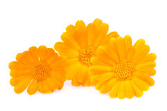 Daisy gerbera flowers isolated on white Stock Photography