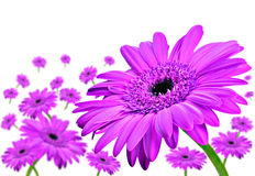 Daisy gerbera flowers on white Royalty Free Stock Photo