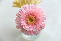 Daisy-gerbera in glass vase Stock Images