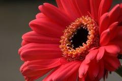daisy gerbera różowy zdjęcie royalty free