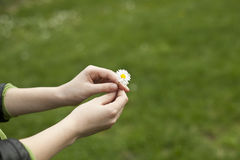 Daisy Gift Royalty Free Stock Images