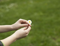 Daisy Gift Royalty Free Stock Image