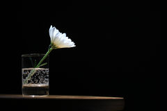Daisy in a glass on black background Stock Photos