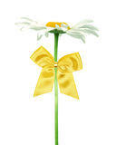 Daisy with gold bow Royalty Free Stock Image