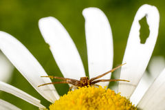 Daisy and goldenrod crab spider Royalty Free Stock Photography
