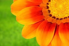 Daisy on grass. Beautiful daisy on very blurry grass background Royalty Free Stock Photo