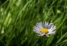 Daisy in the grass. Daisy with blurry grass background stock images