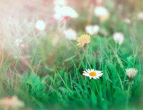 Daisy in grass - closeup Stock Images