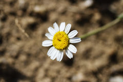 Daisy. On the grass freshly plowed Stock Photography