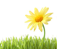 Daisy with grass isolated Stock Photography