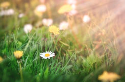Daisy in grass lit by sunlight - sun rays Royalty Free Stock Images