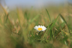 Daisy Stock Photography