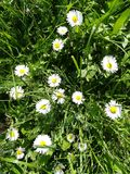 Daisy in the grass. Young flowers daisy up in the grass royalty free stock photos