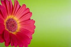 Daisy on green. Orange/yellow daisy on green Royalty Free Stock Photos