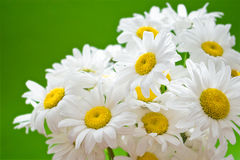 daisy green Obrazy Stock