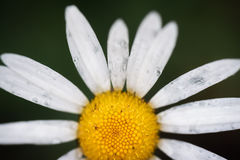 Daisy on a green background. In high magnification macro Royalty Free Stock Photos