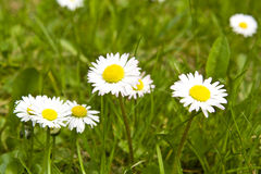 Daisy on green field Stock Image