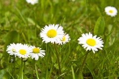 Daisy on green field Stock Image