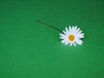 Daisy on green Stock Image