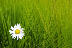Daisy on the green grass Royalty Free Stock Images