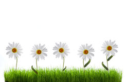 Daisy in green grass Royalty Free Stock Images