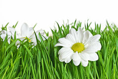Daisy in green grass. On white background [with clipping path Stock Photo