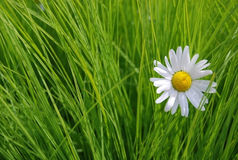 Daisy on the green grass background. Single daisy on the green grass background royalty free stock images