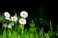 Daisy with green grass background Royalty Free Stock Photography