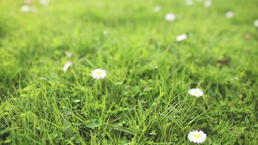 Daisy in green grass close up stock footage