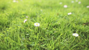 Daisy in green grass close up stock video