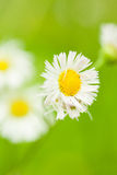 Daisy in green. Two daisy stands in front of green background Royalty Free Stock Photo