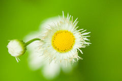 Daisy in green. Two daisy stands in front of green background Stock Photography