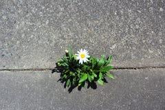 Daisy groeit in een barst in de straat stock fotografie