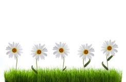 Daisy in groen gras Royalty-vrije Stock Afbeeldingen