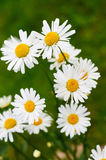 Daisy. In group Stock Images