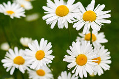 Daisy in group Royalty Free Stock Photos