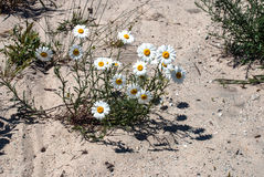 Daisy grow in sand. Bush daisies in the sand under the bright summer sun Stock Images