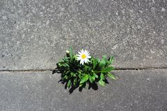 Daisy grows in a crack in the street Stock Photography