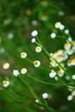 Daisy in spring Stock Image