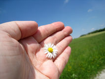 Daisy in the hand 11. The daisy is in my hand Royalty Free Stock Photo
