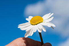 Daisy and hand Royalty Free Stock Image